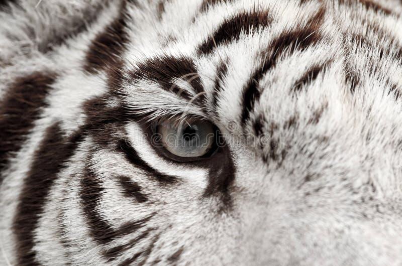 Άσπρο μάτι τιγρών στοκ εικόνα