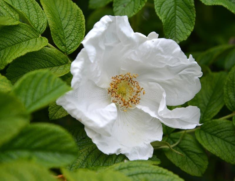 Άσπρο μεγάλο λουλούδι ενός ζαρωμένου dogrose ζαρωμένου τριαντάφυλλα rugosa Λ της Rosa στοκ φωτογραφία με δικαίωμα ελεύθερης χρήσης