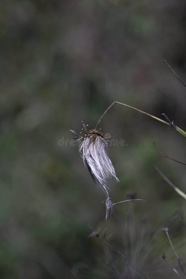 Άσπρο ξηρό λουλούδι, σε έναν λεπτό σπασμένο μίσχο στο δάσος στοκ εικόνα