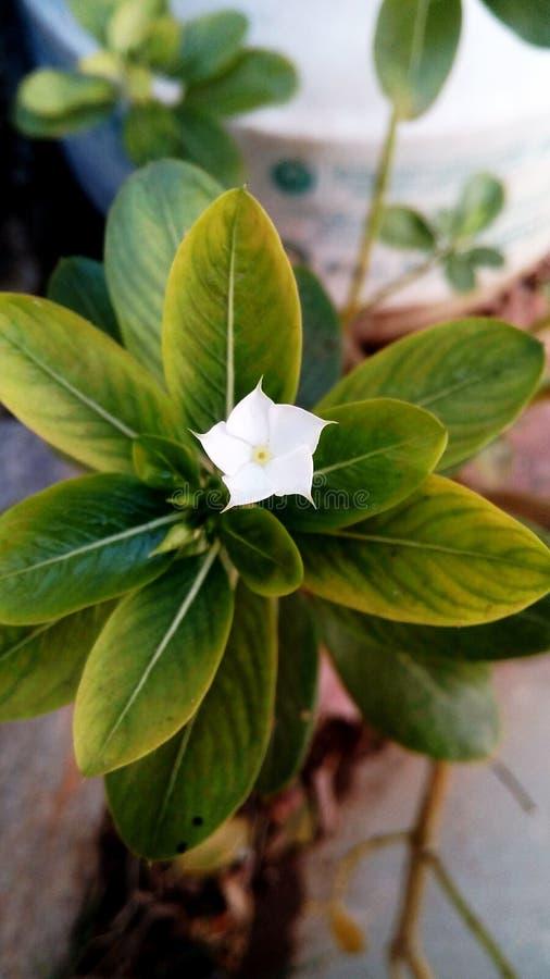 Άσπρο λουλούδι αστεριών στοκ εικόνες