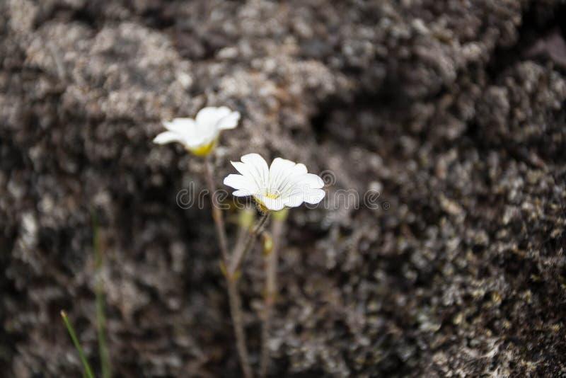 Άσπρο λουλούδι με το σκοτεινό υπόβαθρο στοκ εικόνες