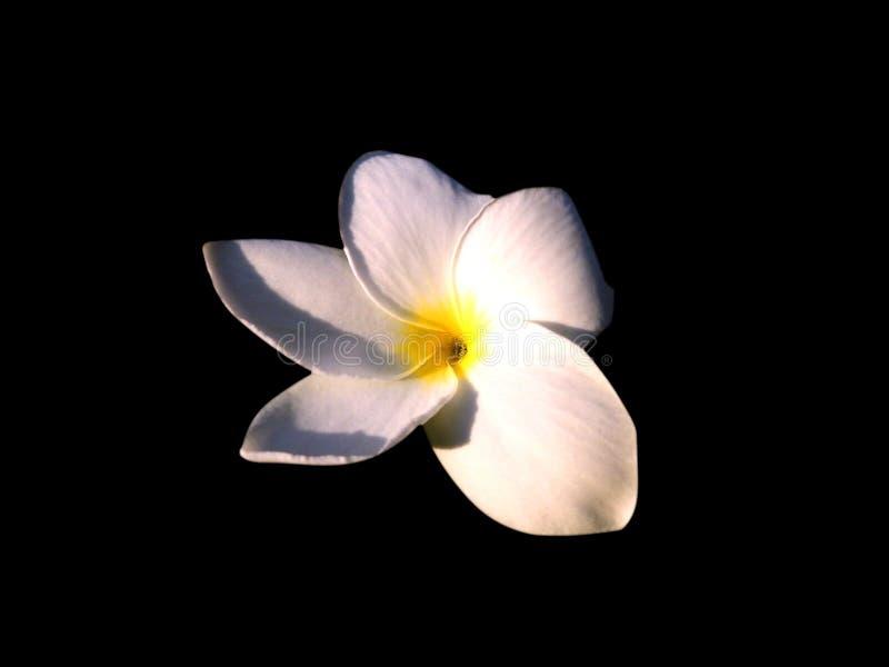 Άσπρο λουλούδι μόνο στοκ φωτογραφία