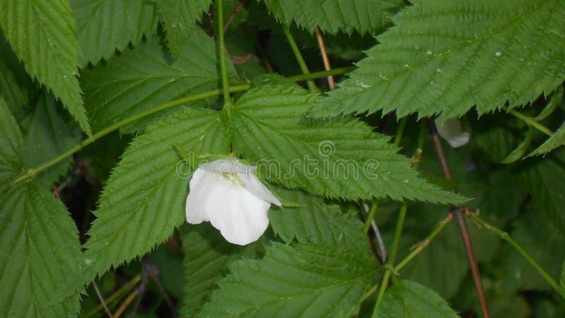 Άσπρο λουλούδι σε έναν θάμνο στοκ εικόνες