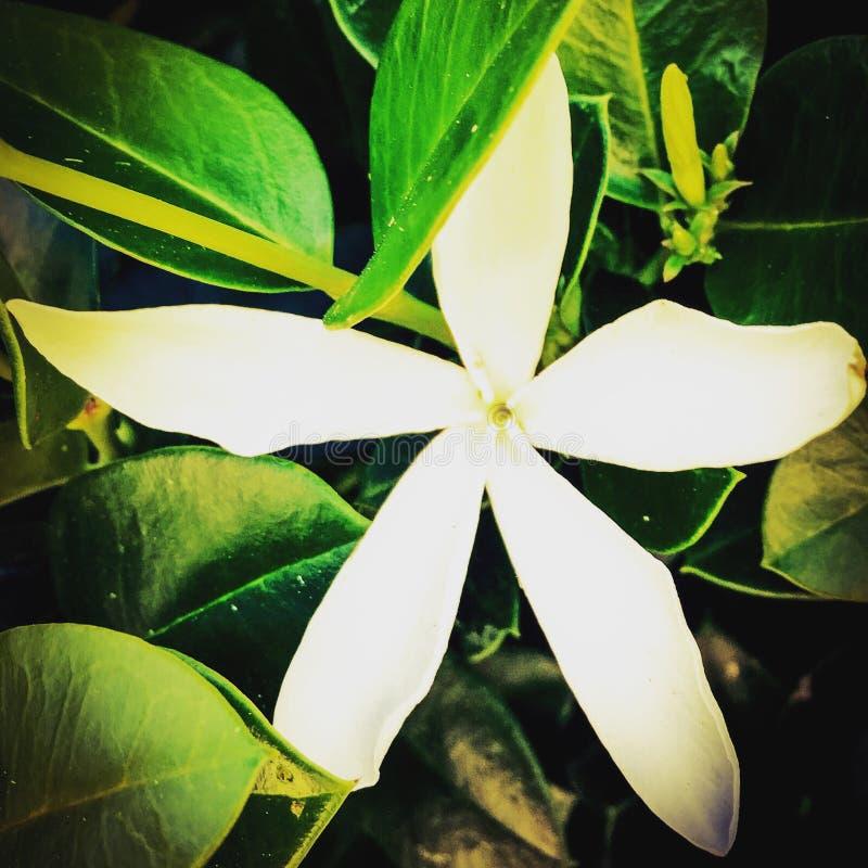 Άσπρο λουλούδι της Φλώριδας στοκ φωτογραφίες