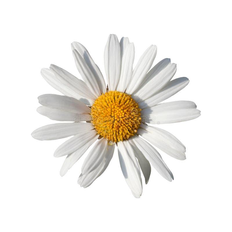 Άσπρο λουλούδι της Daisy στοκ εικόνα