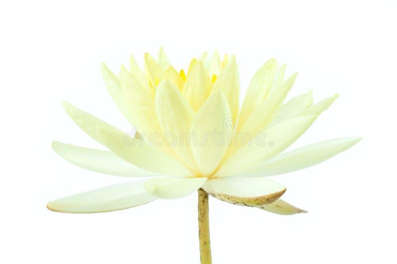 Άσπρο λουλούδι λωτού που απομονώνεται στο άσπρο υπόβαθρο (κρίνος νερού) στοκ εικόνα