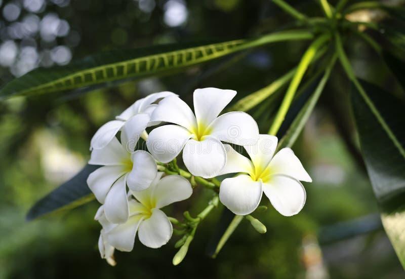 Άσπρο λουλούδι Frangipani στοκ φωτογραφία με δικαίωμα ελεύθερης χρήσης