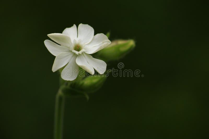 Άσπρο λουλούδι - Jasminum sambac (Sampaguita) στοκ εικόνες με δικαίωμα ελεύθερης χρήσης