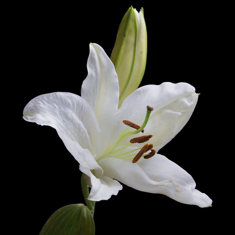 Άσπρο λουλούδι lilium στοκ εικόνα με δικαίωμα ελεύθερης χρήσης