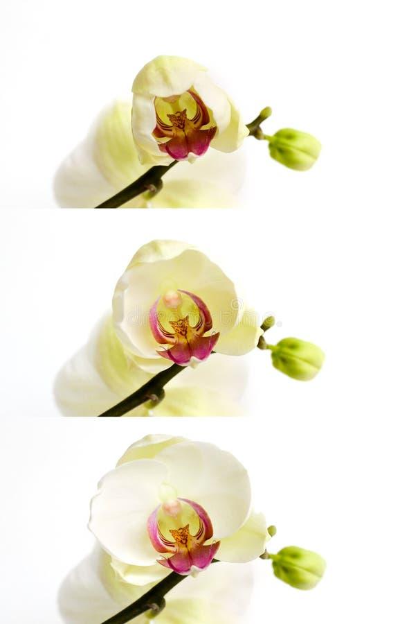 Άσπρο λουλούδι phalaenospis ορχιδεών που ανθίζει, ανοίγοντας στάδια στοκ φωτογραφία με δικαίωμα ελεύθερης χρήσης