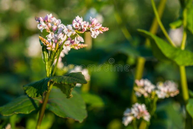 Άσπρο πέταλο του λουλουδιού φαγόπυρου στον τομέα στοκ φωτογραφία με δικαίωμα ελεύθερης χρήσης