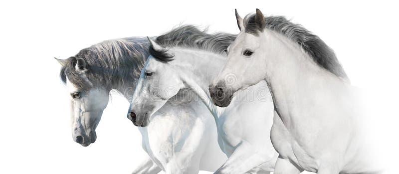 Άσπρο πανόραμα αλόγων τρία για τον Ιστό στοκ φωτογραφία