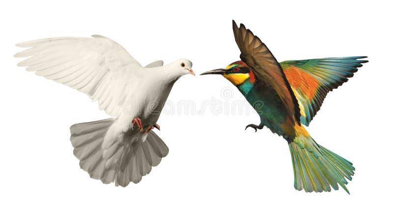 Άσπρο περιστέρι και χρωματισμένο πουλί σε ένα άσπρο υπόβαθρο στοκ φωτογραφίες