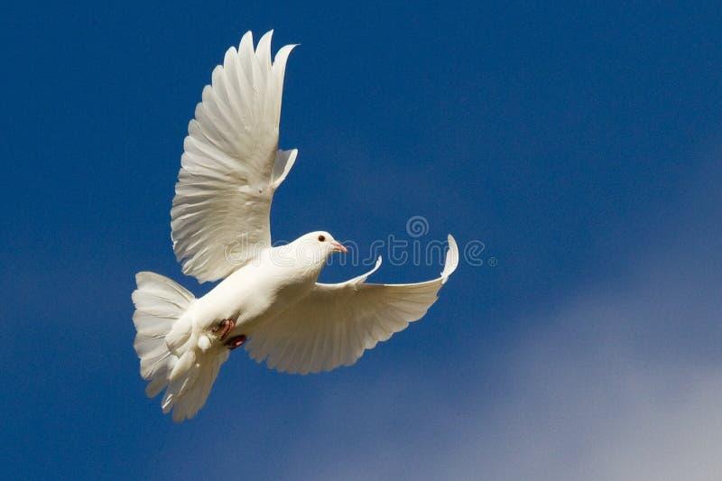 Άσπρο περιστέρι κατά την πτήση στοκ εικόνα με δικαίωμα ελεύθερης χρήσης