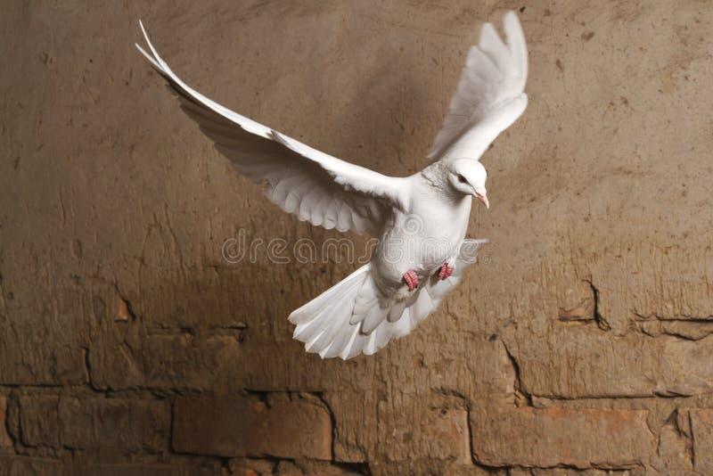 Άσπρο περιστέρι που πετά σε ένα κλίμα ενός παλαιού τουβλότοιχος στοκ εικόνες