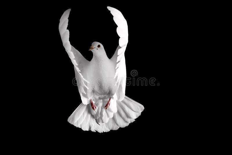 Άσπρο περιστέρι που πετά σε ένα μαύρο υπόβαθρο στοκ εικόνα