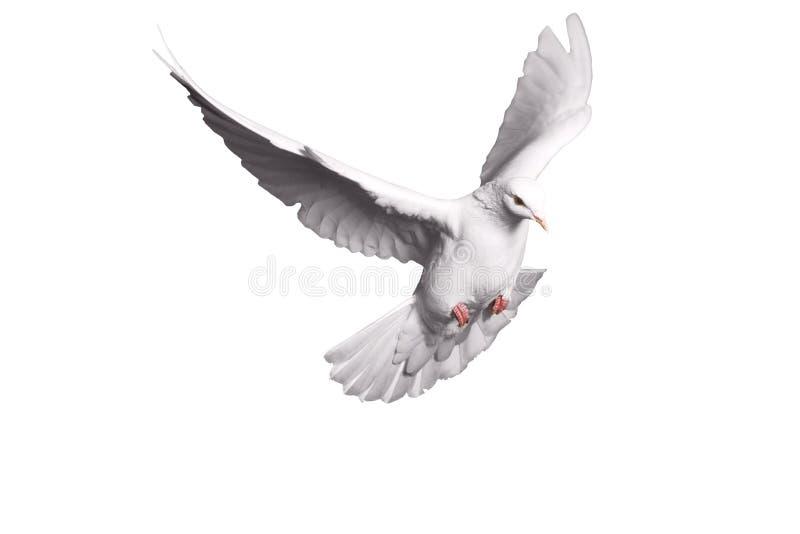 Άσπρο περιστέρι που πετά στο υπόβαθρο για την έννοια ελευθερίας στο ψαλίδισμα της πορείας, διεθνής ημέρα της ειρήνης 2017 στοκ φωτογραφία