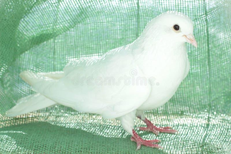 Άσπρο περιστέρι της ειρήνης στοκ φωτογραφία με δικαίωμα ελεύθερης χρήσης