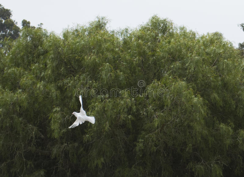 Άσπρο πετώντας περιστέρι 2 στοκ εικόνα με δικαίωμα ελεύθερης χρήσης