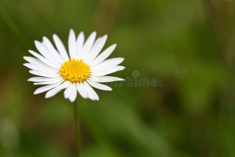 Άσπρο πεδίο μαργαριτών στοκ εικόνες με δικαίωμα ελεύθερης χρήσης