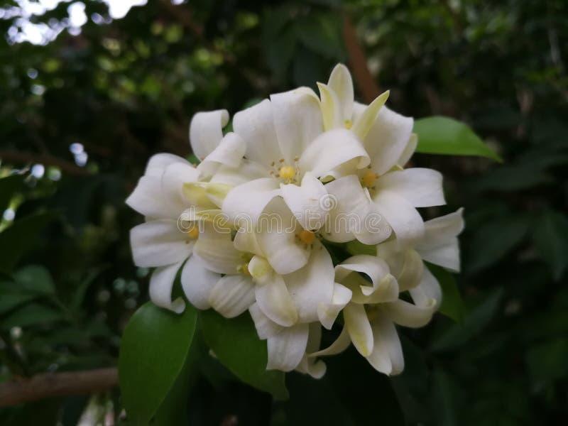 Άσπρο πορτοκαλί jasmine λουλούδι το βράδυ στοκ φωτογραφία με δικαίωμα ελεύθερης χρήσης