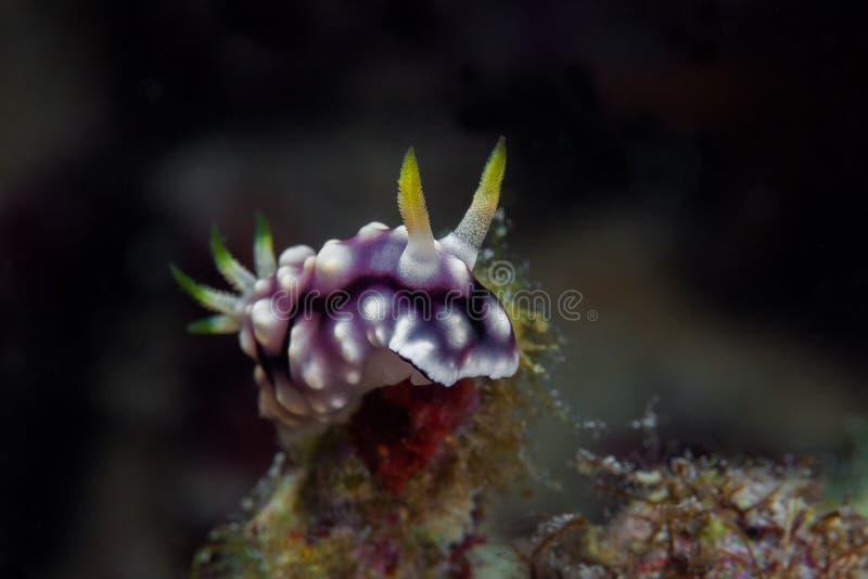 Άσπρο, πορφυρό και μαύρο nudibranch υποβρύχιο με ραβδώσεις volitans Ερυθρών Θαλασσών pterois φωτογραφιών ψαριών φιλιππινέζικος στοκ φωτογραφίες