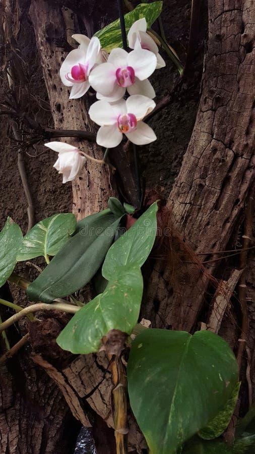 Άσπρο πορφυρό Orquidea στοκ εικόνες με δικαίωμα ελεύθερης χρήσης