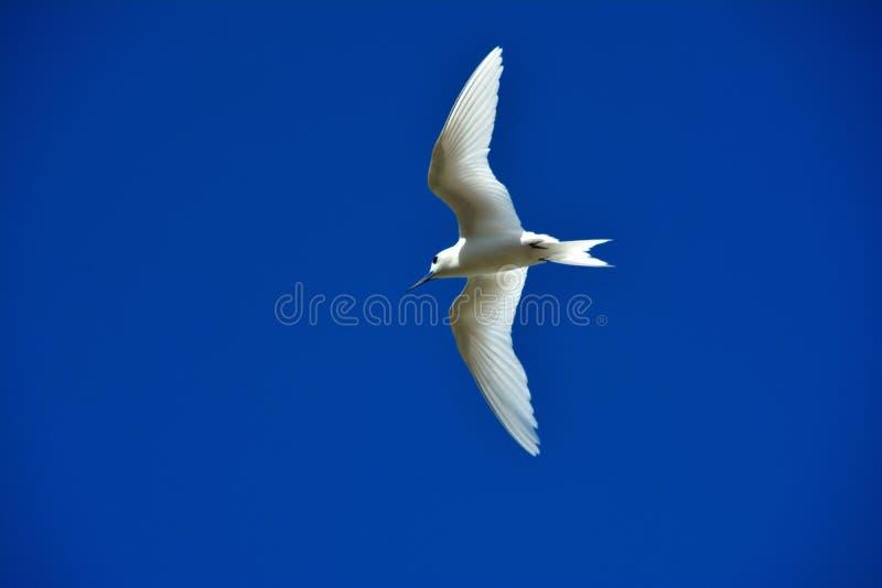 Άσπρο ποταμογλάρονο στοκ εικόνες με δικαίωμα ελεύθερης χρήσης