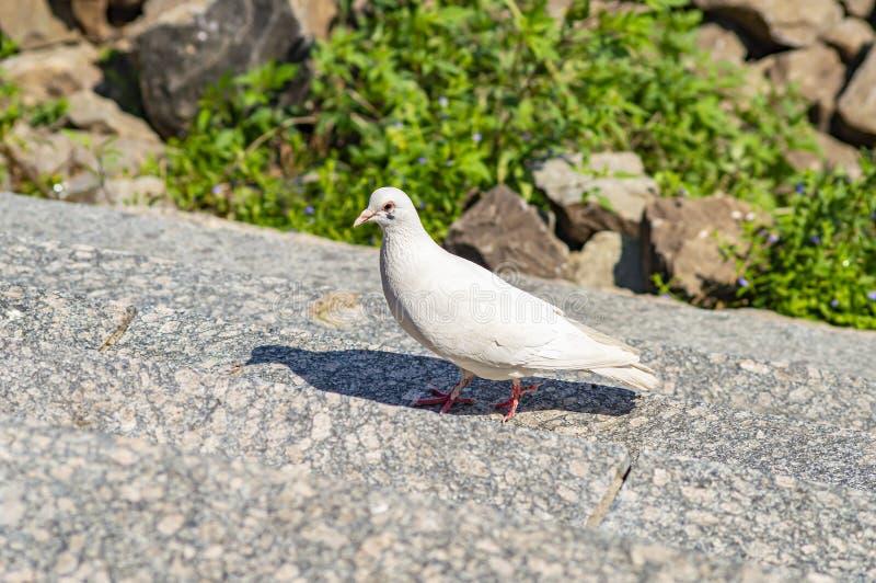 Άσπρο πουλί περιστεριών στα βήματα γρανίτη στοκ φωτογραφία