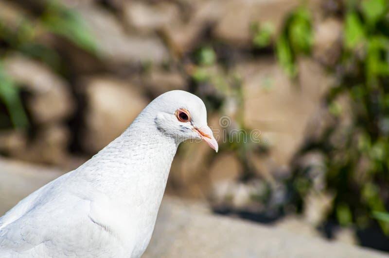 Άσπρο πουλί περιστεριών στα βήματα γρανίτη στοκ εικόνα με δικαίωμα ελεύθερης χρήσης