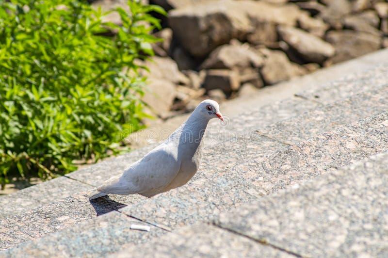 Άσπρο πουλί περιστεριών στα βήματα γρανίτη στοκ φωτογραφίες