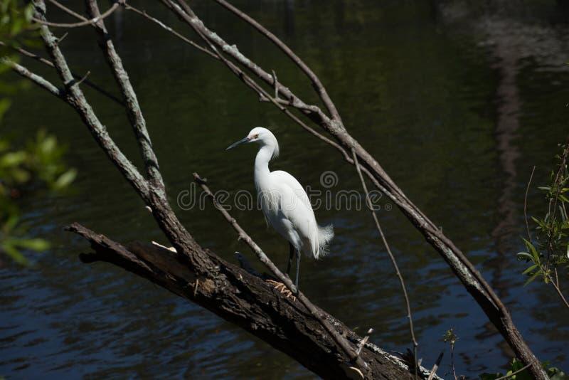 Άσπρο πουλί σε ένα δέντρο κοντά στο νερό στοκ εικόνα
