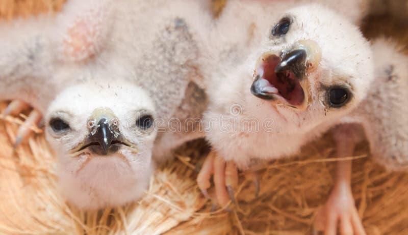 Άσπρο πουλί μωρών δύο, νέα τρόφιμα αναμονής γερακιών από τη μητέρα, sele στοκ φωτογραφίες