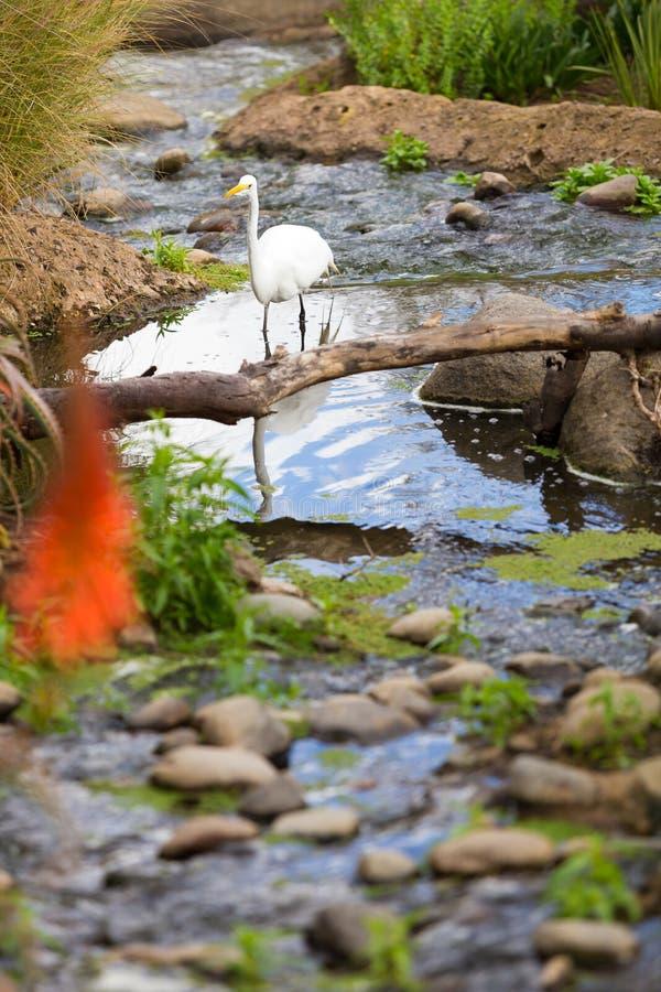 Άσπρο πουλί Igrit που περπατά στο νερό στοκ φωτογραφία με δικαίωμα ελεύθερης χρήσης