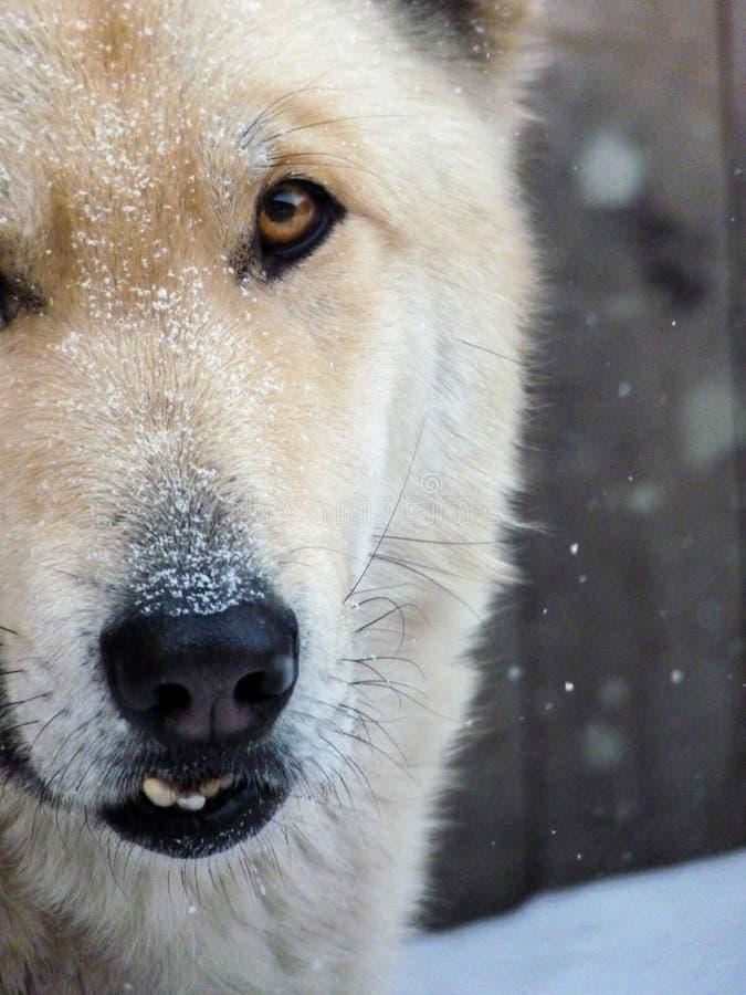 Άσπρο πρόσωπο του χωριού σκυλιών κινηματογραφήσεων σε πρώτο πλάνο με τον υπερανυψωμένο κυνόδοντα στοκ φωτογραφίες