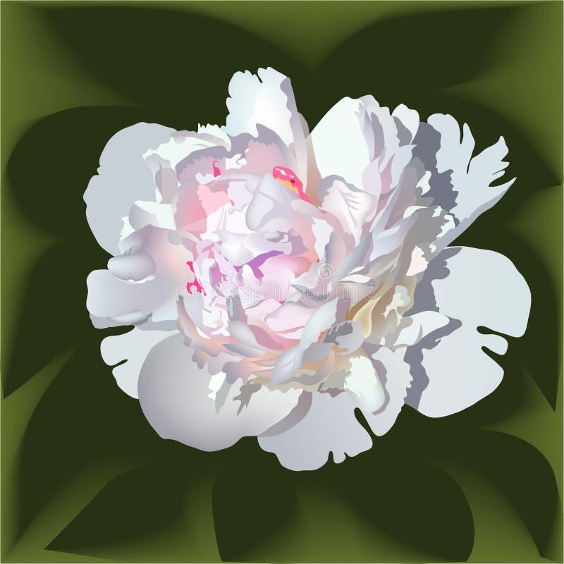 Άσπρο ρεαλιστικό λουλούδι paeonia με το ρόδινο κέντρο ελεύθερη απεικόνιση δικαιώματος