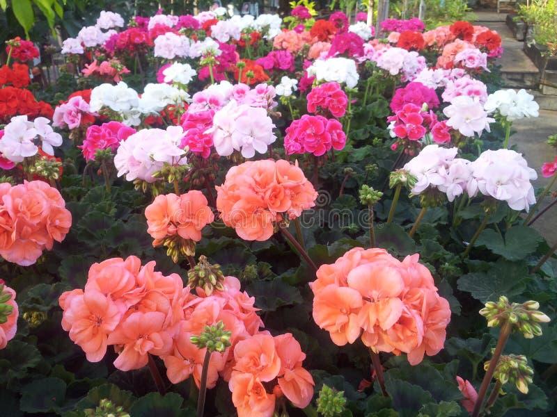 Άσπρο ροζ λουλουδιών στοκ εικόνα
