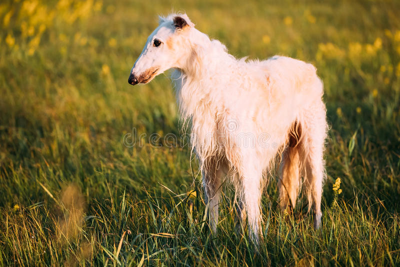 Άσπρο ρωσικό σκυλί, Borzoi στο λιβάδι ή τον τομέα ανατολής θερινού ηλιοβασιλέματος στοκ εικόνες