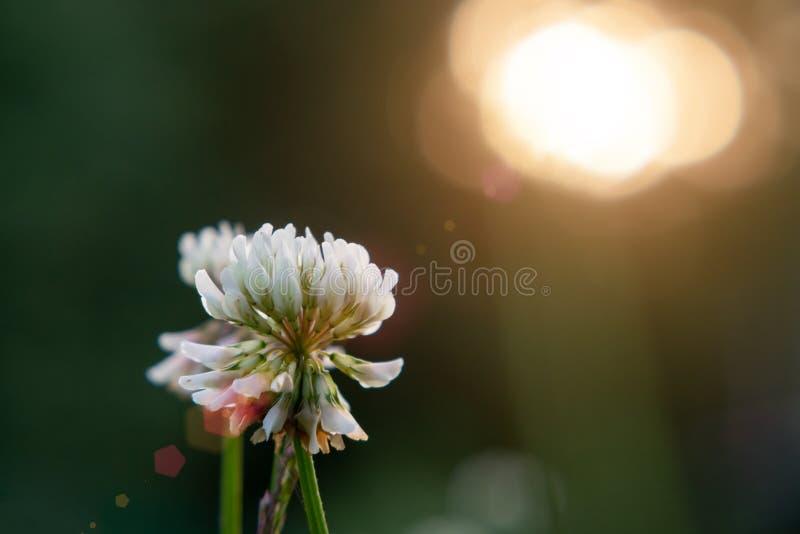 Άσπρο σερνμένος trefoil τριφυλλιού στο χορτοτάπητα στην κινηματογράφηση σε πρώτο πλάνο ηλιοβασιλέματος στοκ εικόνες