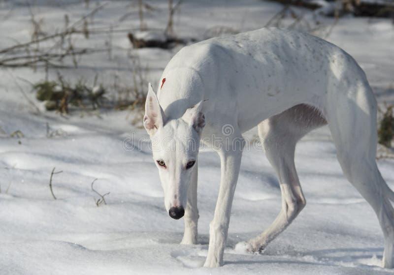Άσπρο σκυλί κυνηγιού που στέκεται στο άσπρο χιόνι στοκ φωτογραφία με δικαίωμα ελεύθερης χρήσης