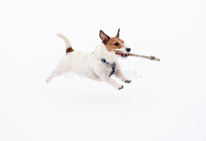 Άσπρο σκυλί που τρέχει και που πηδά στο χιόνι που φέρνει το ξύλινο ραβδί στοκ εικόνες