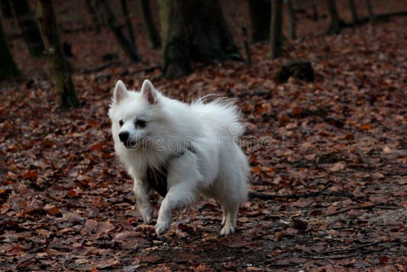 Άσπρο σκυλί που τρέχει στο δάσος στοκ φωτογραφία