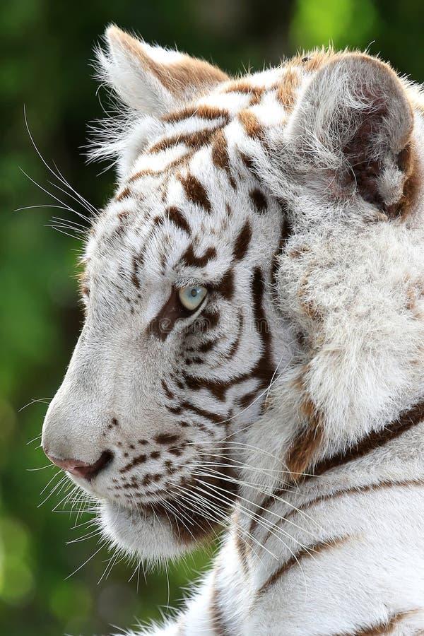 Άσπρο σχεδιάγραμμα τιγρών στοκ φωτογραφίες