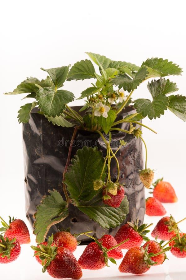 Άσπρο υπόβαθρο εγκαταστάσεων φραουλών στοκ εικόνες