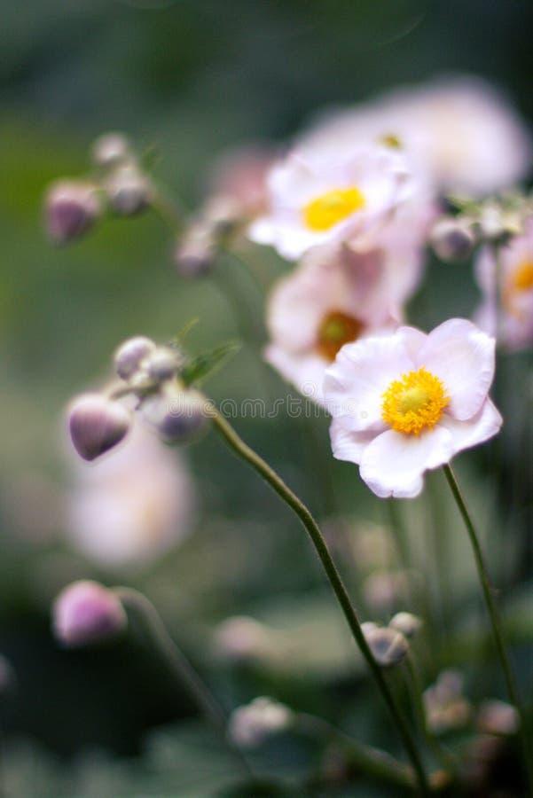 Άσπρο υπόβαθρο χωρών θερινών τομέων λουλουδιών στοκ φωτογραφία με δικαίωμα ελεύθερης χρήσης