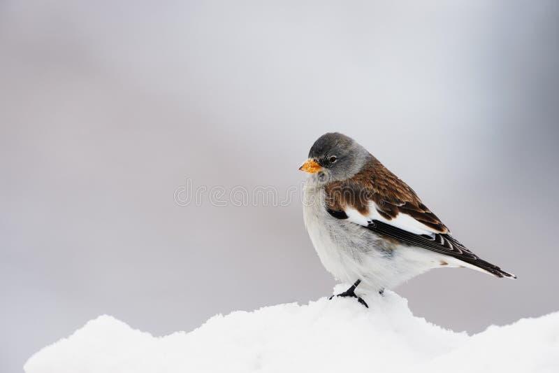 Download Άσπρο φτερωτό snowfinch στοκ εικόνες. εικόνα από κρύο - 62703326