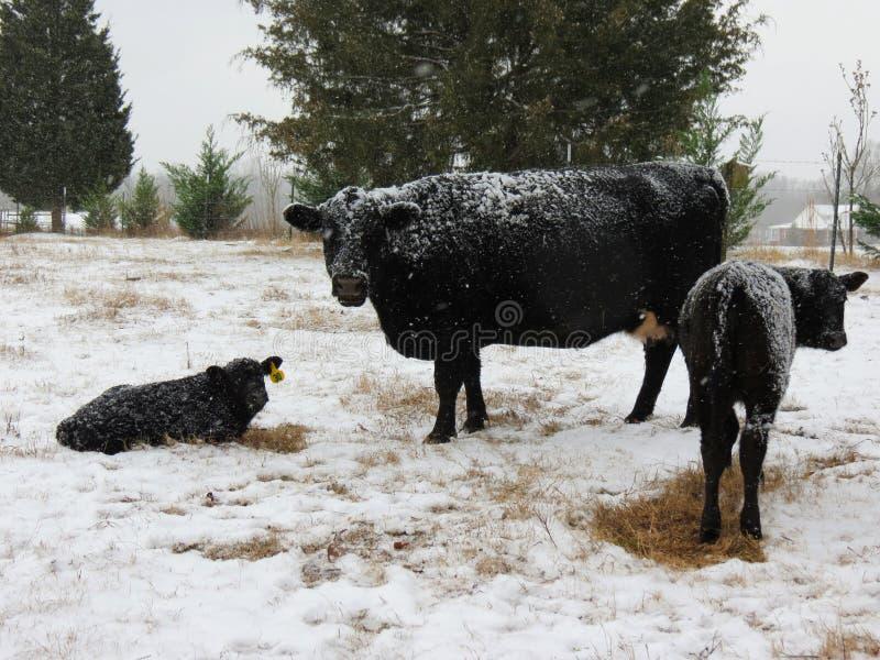 Άσπρο χιόνι, μαύρες αγελάδες στοκ φωτογραφίες