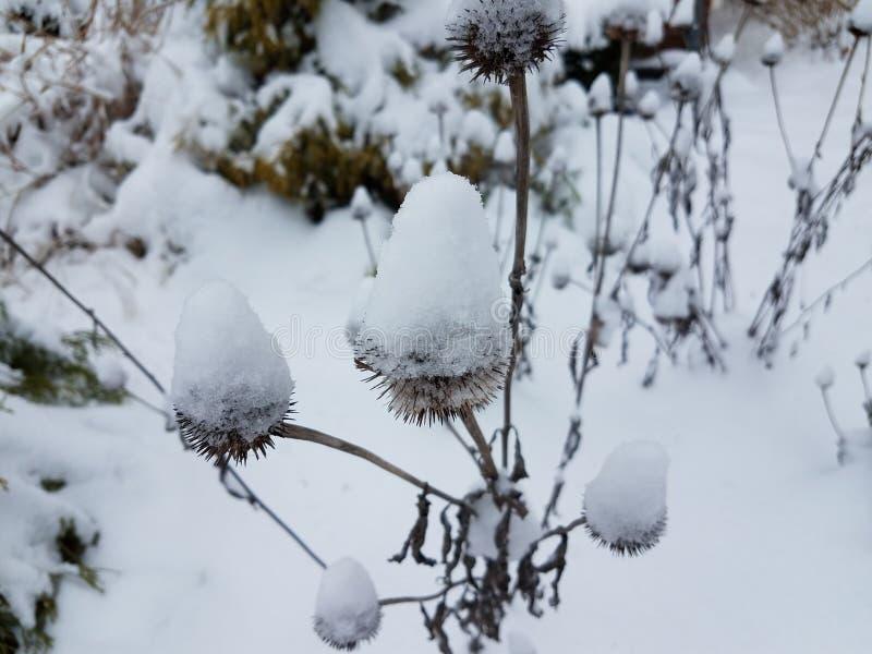 Άσπρο χιόνι στο coneflower το χειμώνα στοκ φωτογραφία με δικαίωμα ελεύθερης χρήσης