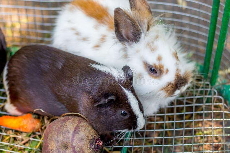 Άσπρο χνουδωτό κουνέλι και μαύρο ινδικό χοιρίδιο σε ένα κλουβί Τα ζώα είναι friends_ στοκ φωτογραφίες