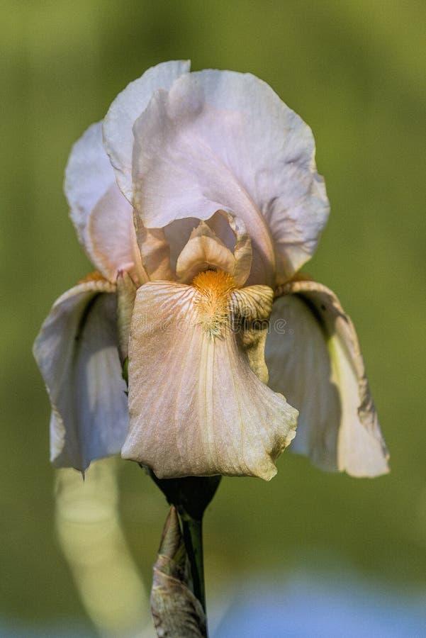 Άσπρο χρυσό και ελαφρύ άνθος της Iris μαυρίσματος ψηλό γενειοφόρο στοκ εικόνα